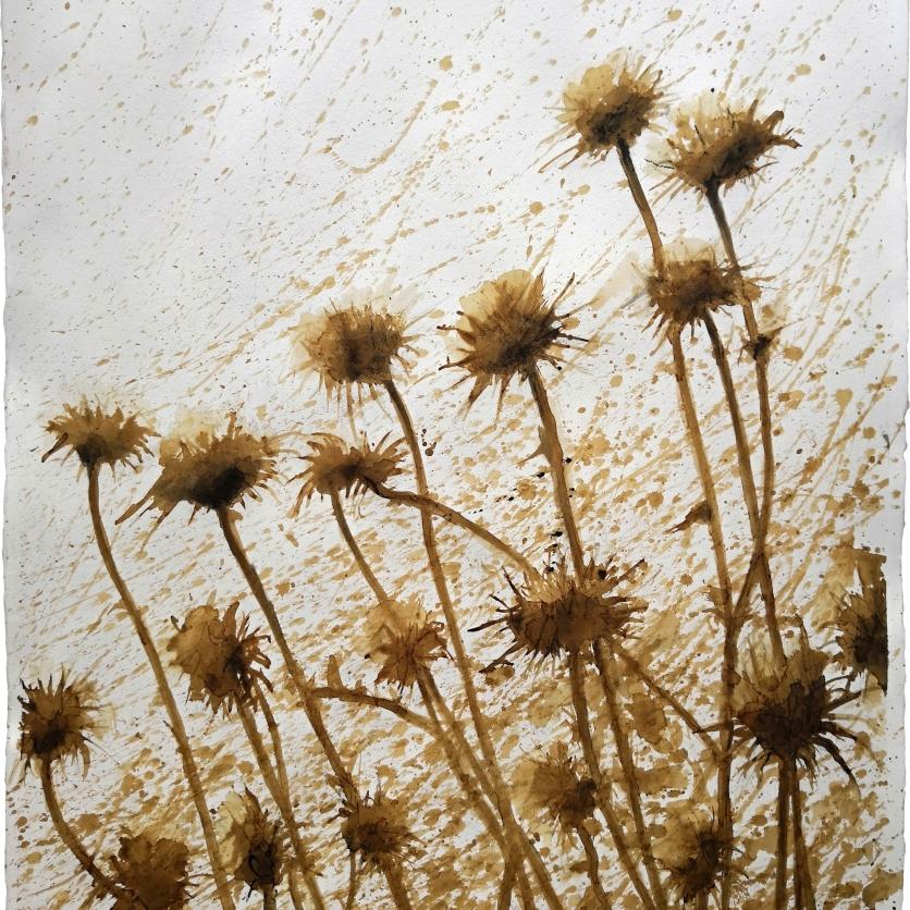Cardo borriquero seco - Café y tinta china 57x77 cm
